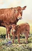 Limousin Cow and Calf:  by Anthony Forster